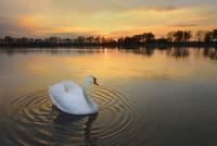 Mute Swan (Cygnus olor) on lake at sunset, Hesse, Germany, Europe 11030043502| 写真素材・ストックフォト・画像・イラスト素材|アマナイメージズ