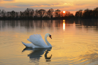 Mute Swan (Cygnus olor) on lake at sunset, Hesse, Germany, Europe