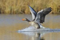 Greylag goose (Anser anser) landing on lake, Hesse, Germany, Europe 11030043507| 写真素材・ストックフォト・画像・イラスト素材|アマナイメージズ