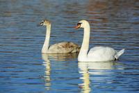 Mute swans (cygnus olor) at noon, Munich, Upper Bavaria, Bavaria, Germany