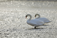 Mute swans (cygnus olor) at noon, Munich, Upper Bavaria, Bavaria, Germany