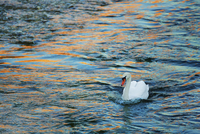 Mute swan (cygnus olor) at sunrise, Munich, Upper Bavaria, Bavaria, Germany