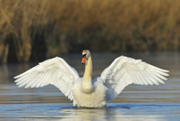 Mute Swan (Cygnus olor) on Lake with Open Wings, Odenwald, Hesse, Germany 11030043656| 写真素材・ストックフォト・画像・イラスト素材|アマナイメージズ