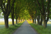 Chestnut tree-lined road, Nature Reserve Moenchbruch, Moerfelden-Walldorf, Hesse, Germany, Europe