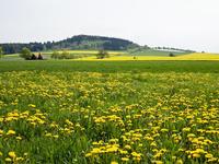 Dandelion in field, Weser Hills, North Rhine-Westphalia, Germany