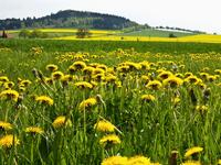 Close-up of Dandelions in field, Weser Hills, North Rhine-Westphalia, Germany
