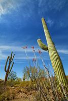 Saguaro Cactus (Carnegiea gigantea) and Ocotillos, Tucson Mountain County Park, Pima County, Arizona, USA