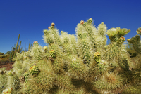 Cholla Cactus (Cylindropuntia) in Bloom, Organ Pipe Cactus National Monument, Pima County, Arizona, USA