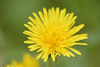 Close-up of Common Dandelion (Taraxacum officinale) Blossom in Meadow in Spring, Styria, Austria