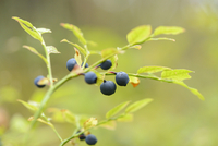 Close-up of European Blueberry (Vaccinium myrtillus) Fruits in Forest on Rainy Day in Spring, Bavaria, Germany