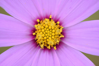 Close-up of a Garden cosmos or Mexican aster (Cosmos bipinnatus) in summer, Upper Palatinate, Bavaria, Germany