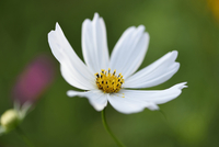 Close-up of a garden cosmos or Mexican aster (Cosmos bipinnatus) blossom in a garden in summer, Bavaria, Germany