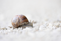 Close-up of Burgundy snail (Helix pomatia) on Gravel Road, Upper Palatinate, Bavaria, Germany