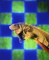 Iguana with Checkered Background