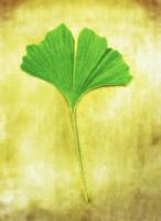 Ginkgo Leaf    11030045220| 写真素材・ストックフォト・画像・イラスト素材|アマナイメージズ