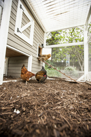 Chickens in a chicken coop, USA