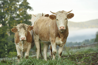 Cattle (Bos) Standing in Meadow on Early Morning in Autumn, Bavarian Forest National Park, Bavaria, Germany