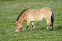 Przewalski's Horse (Equus ferus przewalskii) on Meadow in Autumn, Bavarian Forest National Park, Bavaria, Germany
