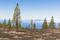 Canary Island pine at La Gomera Island, UNESCO World Heritage Site, Teide National Park, Tenerife, Canary Islands 11030046543| 写真素材・ストックフォト・画像・イラスト素材|アマナイメージズ