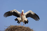 White Storks (Ciconia ciconia) Mating in Nest, Germany