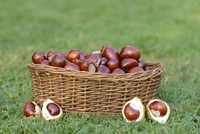 Horse-chestnuts (Aesculus hippocastanum) in a basket on grass in sumer, Bavaria, Germany