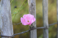 A pink rose growing around a wooden fence, Bavaria, Germany