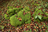 Close-up of moss covered rocks in a European beech (Fagus sylvatica) forest in autumn, Upper Palatinate, Bavaria, Germany