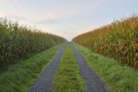 Gravel Road through Cornfield, Vielbrunn, Odenwald, Hesse, Germany