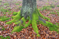 Beech Tree Trunk and Roots with Moss, Spessart, Bavaria, Germany
