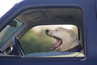 Close-up of dog yawning while inside a truck, USA