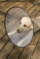 Dog lying on deck outdoors, wearing elizabethan collar looking sad, USA