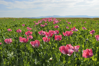 Opium Poppy Field (Papaver somniferum) Summer, Germerode, Hoher Meissner, Werra Meissner District, Hesse, Germany
