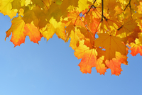 Close-up of Maple Tree, Leaves in Autumn, against blue sky, Bavaria, Germany