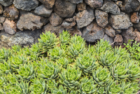 Group of Succulents by Stone Wall, El Hierro, Canary Islands, Spain