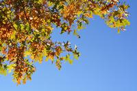 Red Oak Leaves in Autumn, Boppard, Rhein-Hunsruck-District, Rhineland-Palatinate, Germany