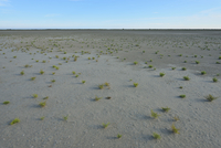 Dry Marshland with Common Glasswort (Salicornia europaea) Summer, Digue a la Mer, Camargue, Provence-Alpes-Cote d'Azur, France