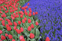 Close-up of Grape Hyacinth and Tulips in Garden in Spring, Keukenhof Gardens, Lisse, Holland