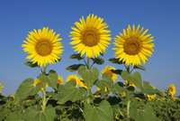 Common Sunflowers (Helianthus annuus) against Clear Blue Sky, Tuscany, Italy