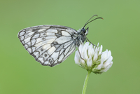 Marbled White (Melanargia galathea) Butterfly on Clover Flower, Bavaria, Germany