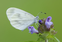Wood White (Leptidea sinapis) Butterfly on Flower, Bavaria, Germany