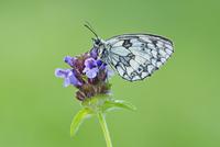 Marbled White (Melanargia galathea) Butterfly on Purple Flower, Bavaria, Germany