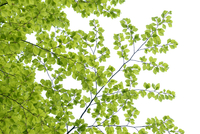 Branch of Beech Tree with Fresh Foliage in Spring on White Background