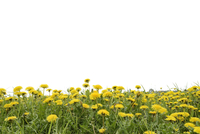 Meadow with Dandelions (Taraxacum officinale) and White Background