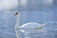 Portrait of a mute swan (cygnus olor) swimming on Lake Grundlsee in winter, Styria, Austria