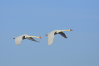 Two Mute Swans (Cygnus olor), flying against blue sky, Hesse, Germany