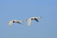 Two Mute Swans (Cygnus olor), flying against blue sky, Hesse, Germany 11030048739| 写真素材・ストックフォト・画像・イラスト素材|アマナイメージズ