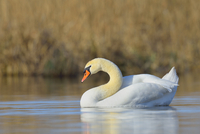 Portrait of Mute Swan (Cygnus olor) swimming on Lake, Hesse, Germany