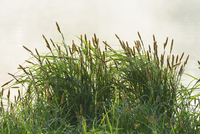 Grass in Early Morning Light in Spring, Park Schonbusch, Aschaffenburg, Lower Franconia, Bavaria, Germany