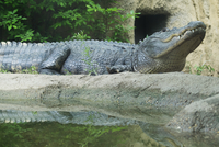 Alligator, Cameron Park Zoo, Waco, Texas, USA