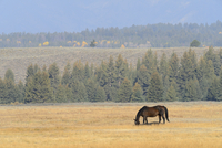 Horse grazing in field, Grand Teton National Park, autumn, Grand Teton National Park, Wyoming, USA